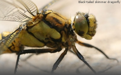 A photograph of an adult Black tailed skimmer dragonfly