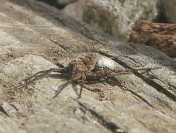 A photograph of female wolf spider with her egg sac.