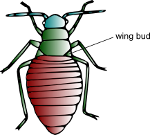 Illustration of a first instar nymph