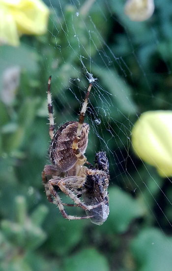 A photograph of a garden spider wrapping prey caught in its web with silk.