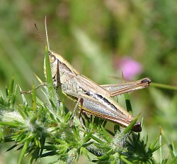 A photograph of a grasshopper illustrating the short antennae
