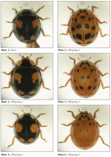 A series of photographs demonstrating colour and pattern variation within the harlequin ladybird (_Harmonia axyridis_)