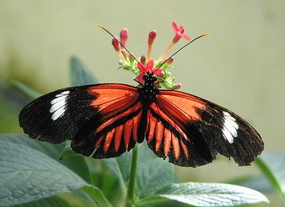 A photograph of Heliconius melpomene. Many butterflies in the Heliconius genus are Mullerian mimics.