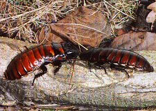 Madagascan Hissing Cockroaches _Gromphadorhina portentosa_