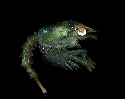 A photograph of the zoea of _Homarus gammarus_.