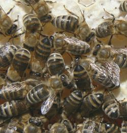 A photograph of worker honeybees (_Apis mellifera_) on honeycomb.