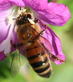 Photograph of a honeybee (_Apis mellifera_) drinking nectar from a flower