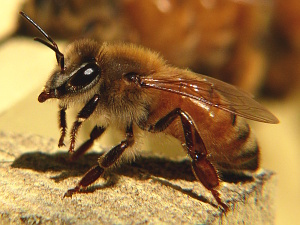 A photograph of a worker honeybee (_Apis mellifera_)