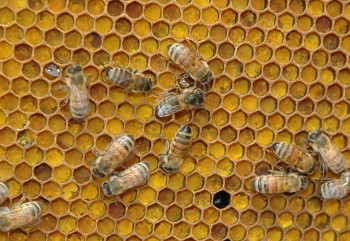 A photograph of a worker honeybees (_Apis mellifera_) on a honeycomb