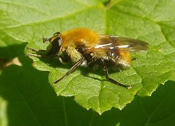 Photograph of a brightly coloured bee-mimic hoverfly