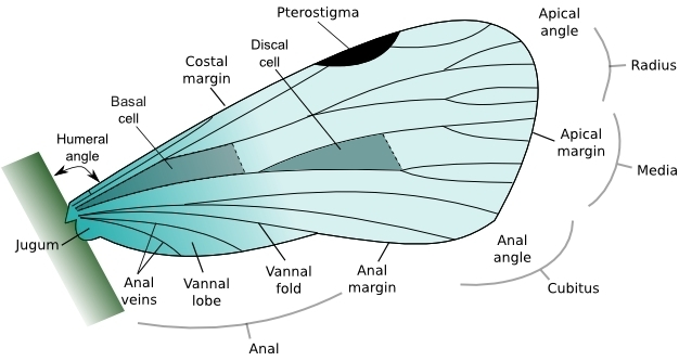 An illustration of the general structure of an insect wing with the discal cell highlighted.