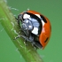 Insect groups - photograph of a ladybird