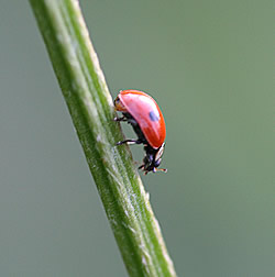 A photograph of the Two-spot ladybird _Adalia bipunctata_