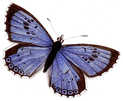 Illustration of the Large Blue butterfly (_Maculinea arion_)