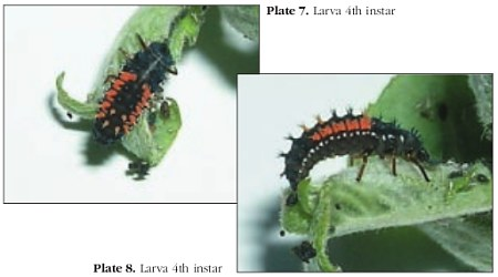 Two photographs of 4th instar larvae of the harlequin ladybird (_Harmonia axyridis_)
