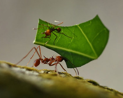 A close up photograph of a leaf cutting ant.