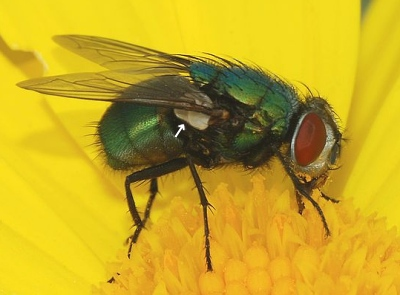 A photograph of the blowfly _Lucilia sericata_ showing the calypters.