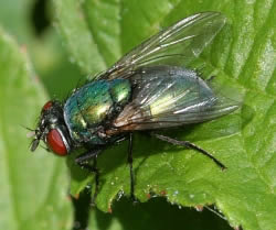 A photograph of the blowfly, _Lucilia sericata_.