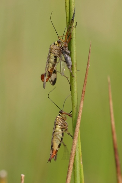 A photograph of male (top) and female (bottom) scorpionflies. The male often provides the female with a nuptial gift (usualy a dead insect) prior to mating.