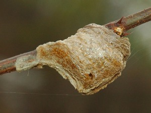 A photograph of a Praying Mantis egg mass attached to a stick.
