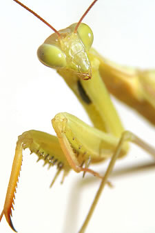 Praying Mantis _Mantis religiosa_