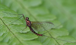 A photograph of a mayfly resting on bracken.
