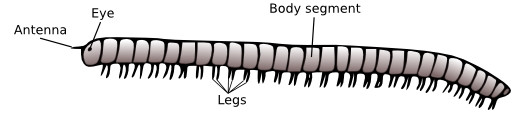 An illustration of the general structure of a millipede.