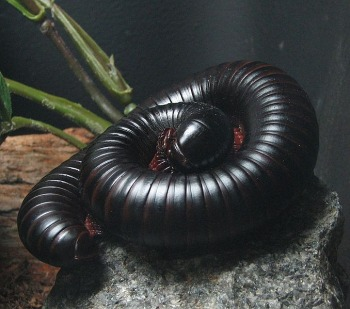 A photograph of a giant millipede.