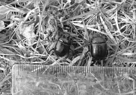 Male and female minotaur beetles