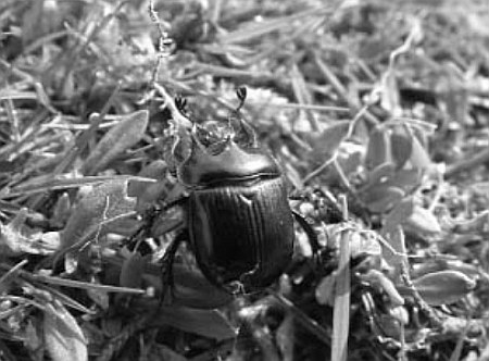 Male minotaur beetle