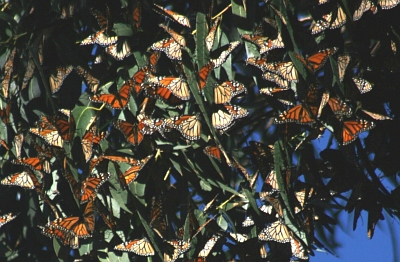 A photograph of Monarch butterflies (_Danaus plexippus_) gathering in huge numbers in trees in Santa Cruz California to overwinter.