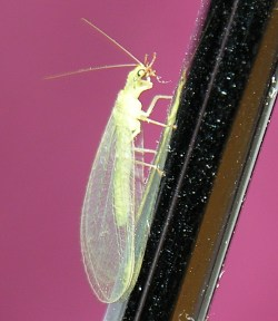A photograph of an adult lacewing (_Chrysopa perli_)