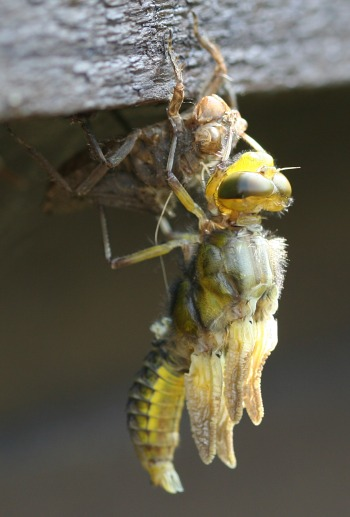 A photograph of a broad-bodied chaser (_Libellula depressa_) shortly after moulting from the final nymphal stage.