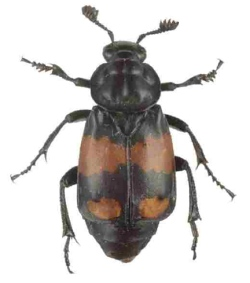 A photograph of the burying beetle _Nicrophorus vespilloides_