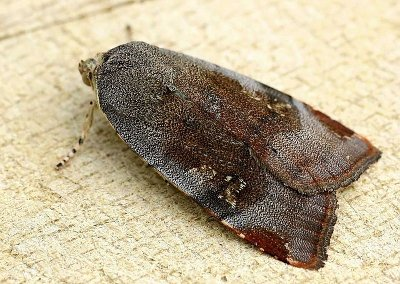 A photograph of the Noctuid moth _Noctua janthe_
