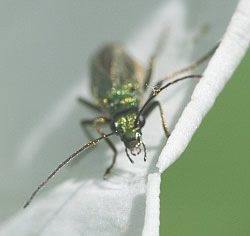 A macro photograph of the head of the beetle _Oedemera nobilis_.