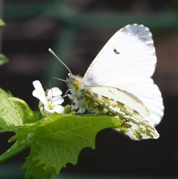 A photograph of an adult female Orange Tip butterfly, _Anthocharis cardamines_
