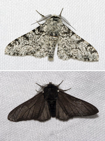Two photographs of the Peppered moth (_Biston betularia_) illustrating the two different colour forms.