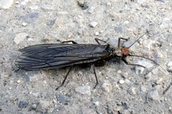 A photograph of an adult Stonefly