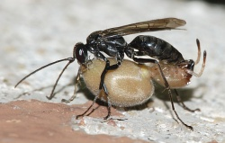 A photograph of the Spider-hunting Wasp (_Auplopus carbonarius_) with its prey.