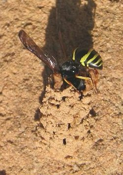A photograph of a Potter Wasp building a clay nest.