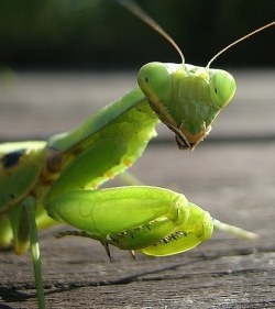 A photograph of a Praying Mantis (_Hierodula patellifera_)