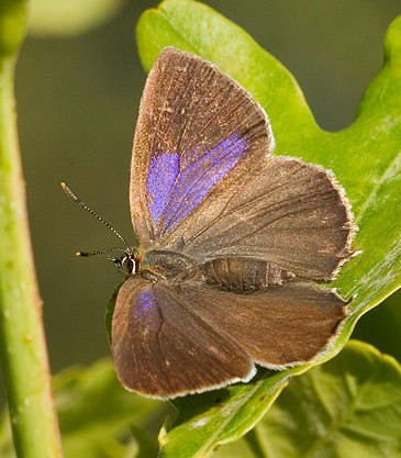 A photograph of a Purple Hairstreak butterfly (_Neozephyrus quercus_). This butterfly is usually found in the tree canopy within oak woodlands.