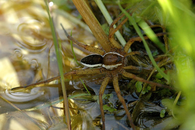 A photograph of a male Raft spider (_Dolomedes fimbriatus_)