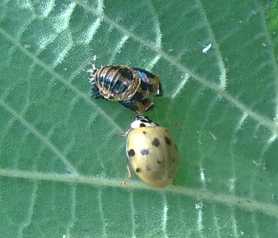 A photograph of a recently eclosed Harlequin ladybird