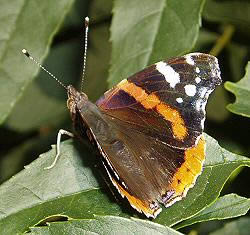 A photograph of a Red Admiral butterfly (_Vanessa atalanta_).