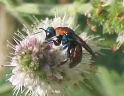 A photograph of the Ruby-tailed wasp (_Hedychrum nobile_).