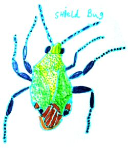 A drawing of a Shield Bug by a Bug Club member