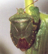 Shield bugs emerge in May to feed on a variety of fruits and leaves of plants