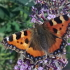 Glossary - photograph of a small tortoiseshell butterfly